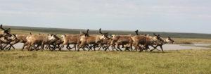 В летние месяцы оленьи стада стремятся на север